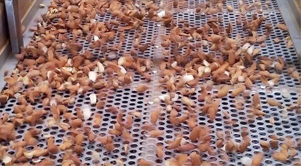Mandeln werden nach Größe gerüttelt und sortiert