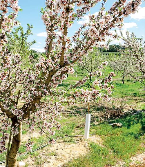 Bald ist es soweit: Mandelbäume in voller Blüte Anfang April 2019 in Katalonien
