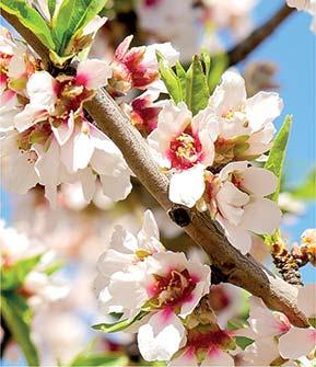 Die fünfzählige Mandelblüte in voller Pracht