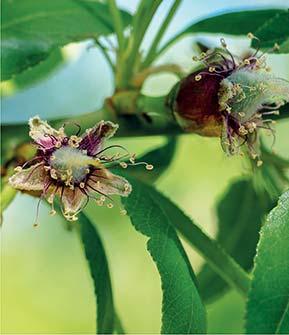 Aus der verblühten Blüte entsteht die Mandelfrucht