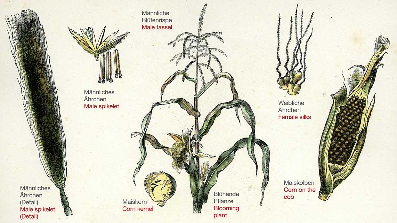 Mais Pflanze im Detail