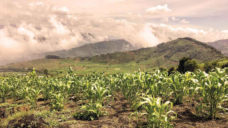 Riesige Maisfelder in den Hügeln von Guatemala, außerhalb von Antigua, am Fuße des Mount Acatenango. Foto: istockphoto