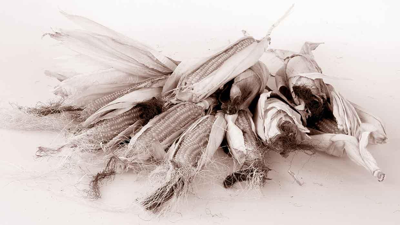 Popcorn-Maiskolben aus uralten Maissorten entwickelt.